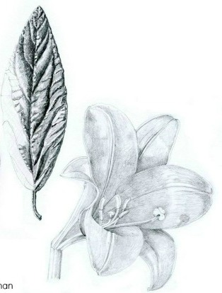 UW Botanic Gardens: Botanical Drawing