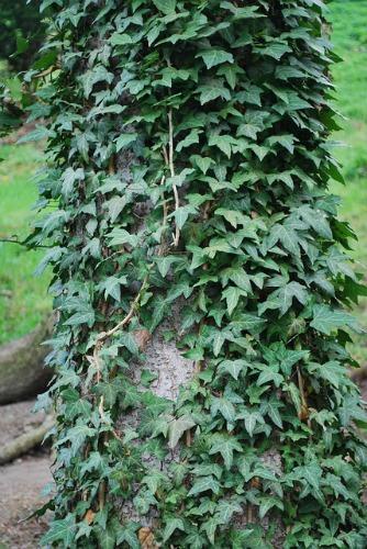 UW Botanic Gardens: Invasive Species and Your Garden