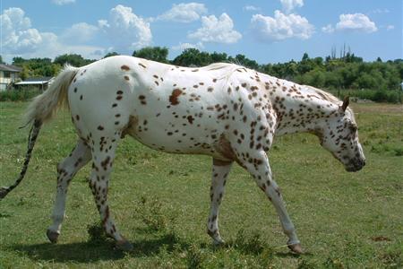 Appaloosa Horse Show
