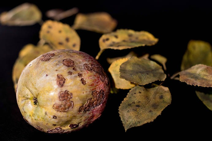 Rotten Apples: Botanical Models of Diversity and Disease