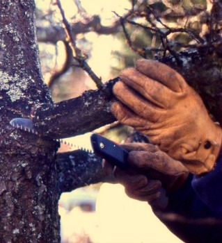 Master Pruner Series: Rehabilitative Pruning with UW Botanic Gardens and PlantAmnesty