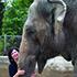 The Half-Wild, Half-Captive Elephants of Burma