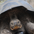 "Unraveling the ""Peculiarities of Island Life"": The Galápagos Tortoises"