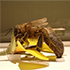 Discover BEES! In Arthropods: Creatures That Rule