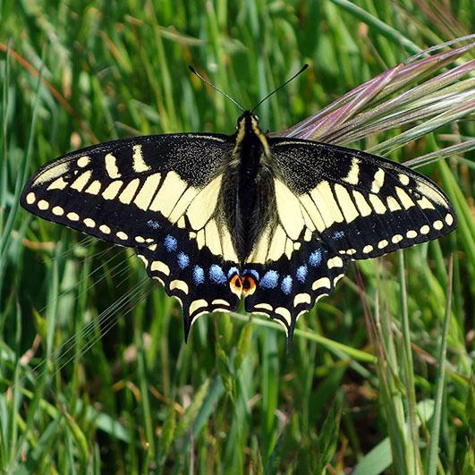 Butterfly BioBlitz