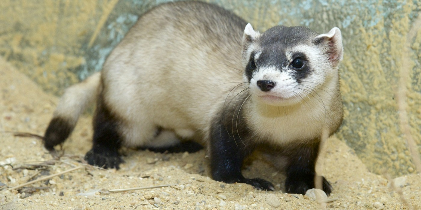Conservation Success: Black-Footed Ferret
