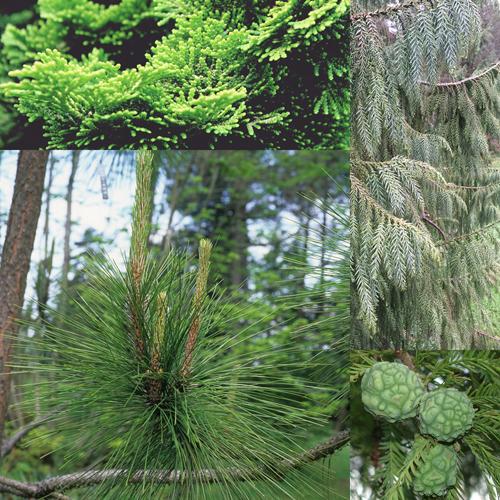Pruning Series: Conifer Pruning (online)
