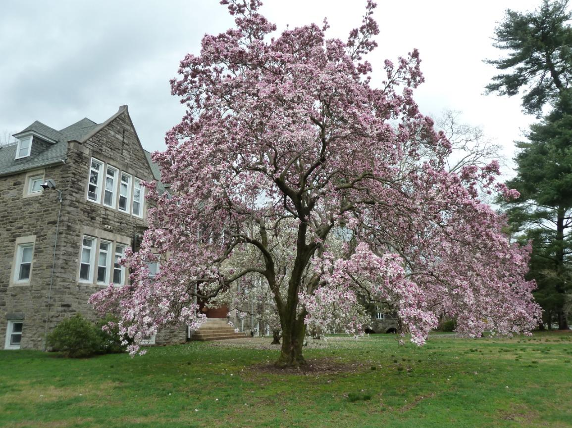 Let's Talk Gardens, Great Magnolias for the Mid-Atlantic