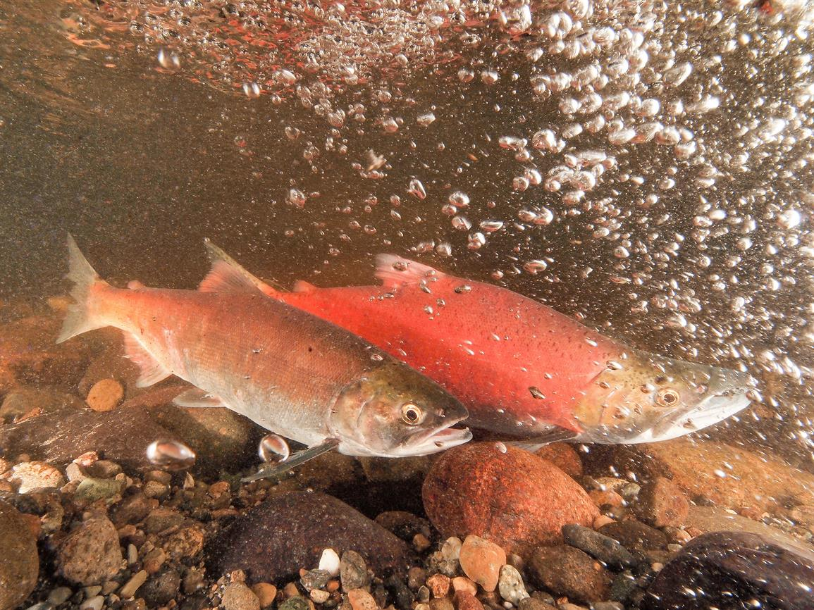 """""""The Mysterious 'Snerka:' The Curious History, Current Status and Future Prospects of Local Kokanee"""""""