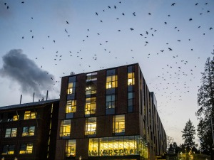 Crows flying over a UW Bothell Building