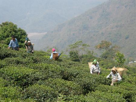Can a Plantation Be Fair? Paradoxes and Promises of Fair Trade in Darjeeling, India
