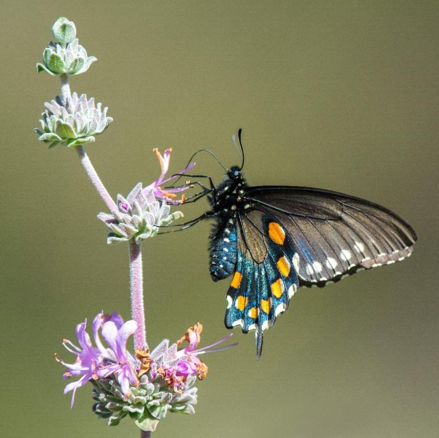 Webinar: Butterflies of Marin