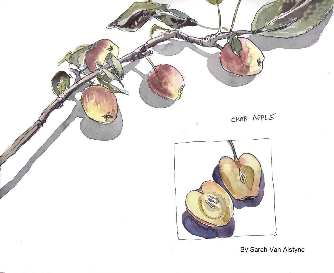 BotanicalSketching2021_SarahVanAlstyne