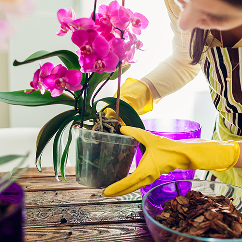 Summer Orchid Care