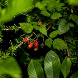 Native Plants 101: Edible Native Plants (online)