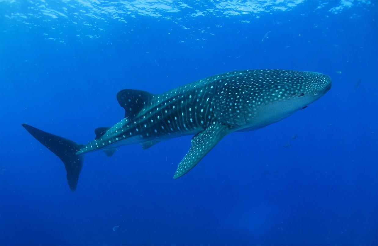 Video Webinar for Families: Natural History at Home - Exploring the Sharks of the Galapagos Islands