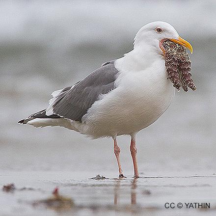 Focus on Gulls
