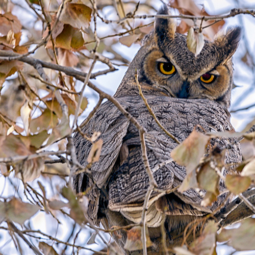 Great Horned Owls: Fleet and Mysterious