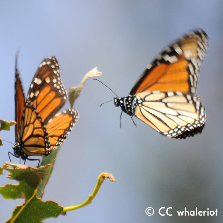 Monarch Migrations