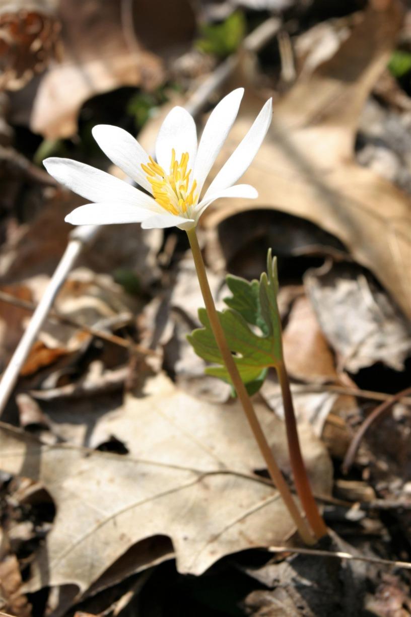 Let's Talk Gardens: Native Spring Ephemerals