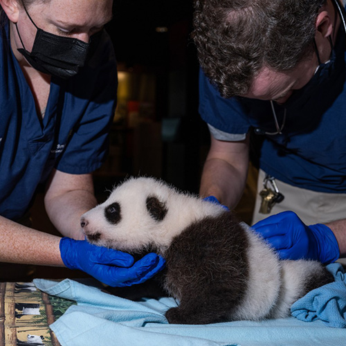 The National Zoo's New Giant Panda Cub: Mei Xiang Delivers a Miracle