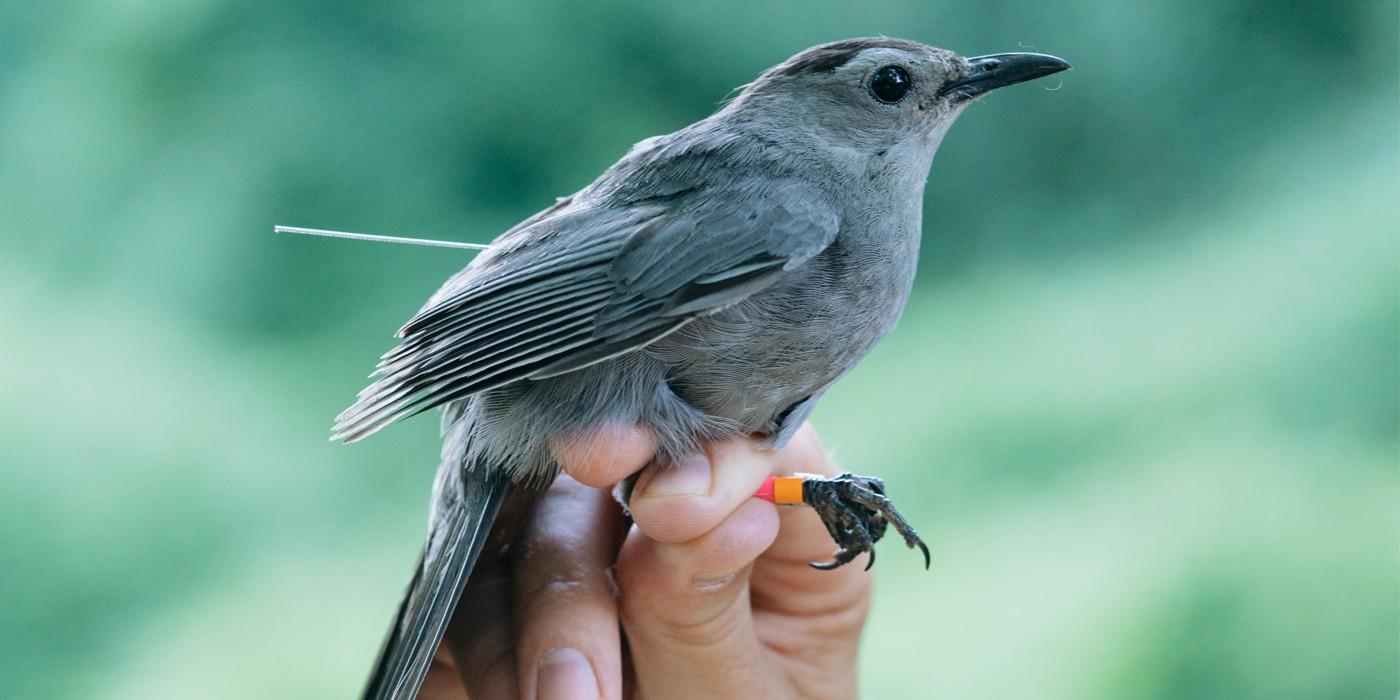 Live Bird Banding