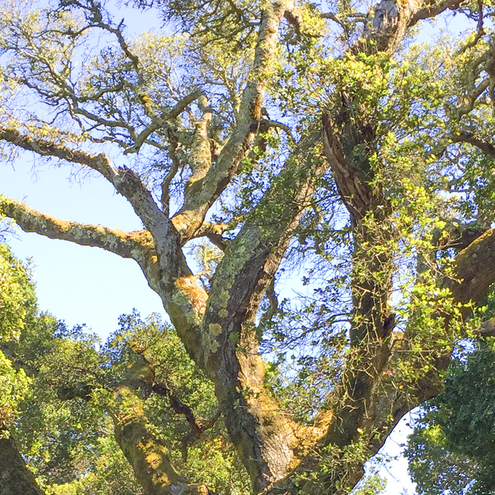 All About Oaks