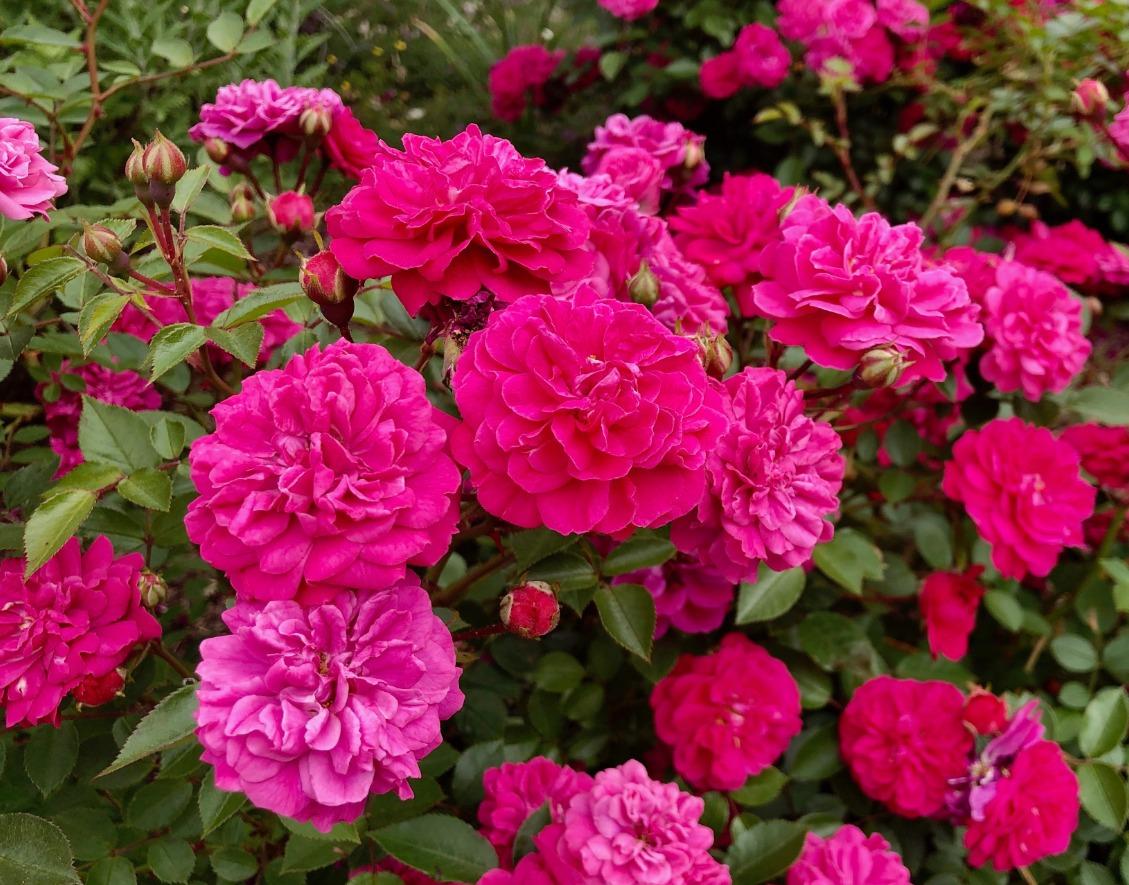 Let's Talk Gardens, Earth Friendly Rose Gardens