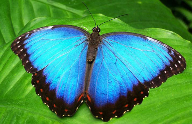 The Genius of Mother Nature - Secrets of the Blue Morpho